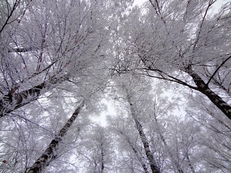 Los troncos y las ramas de los árboles cubiertos con nieve Visión de debajo fotografía de archivo libre de regalías