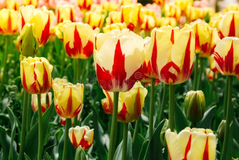 Los tulipanes amarillos hermosos y brillantes crecen en el jardín Flores del resorte en el jard?n Jardín botánico de Yalta fotografía de archivo