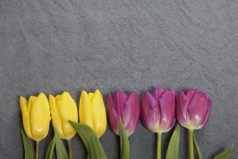 Los tulipanes amarillos y rosados se alinearon en fila en un fondo gris fotografía de archivo libre de regalías