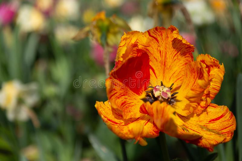 Los tulipanes anaranjados coloridos enfocan adentro imagen de archivo libre de regalías