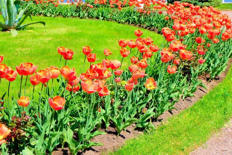 Los tulipanes anaranjados cultivan un huerto en el palacio del peterhof fotografía de archivo