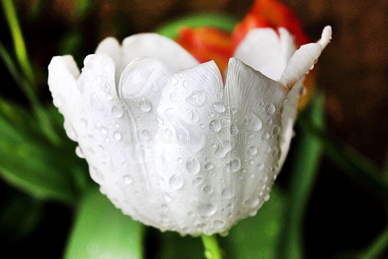 Los tulipanes blancos fotos de archivo