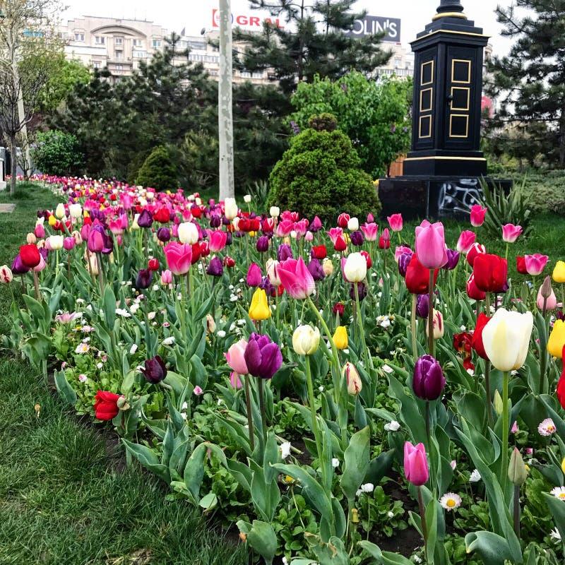 Los tulipanes de las flores saltan imágenes de archivo libres de regalías