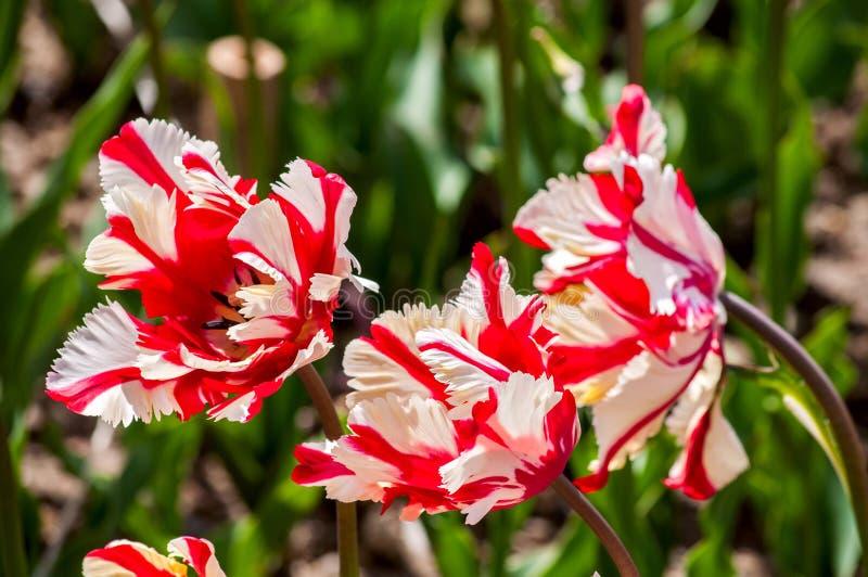 Los tulipanes del loro imagenes de archivo