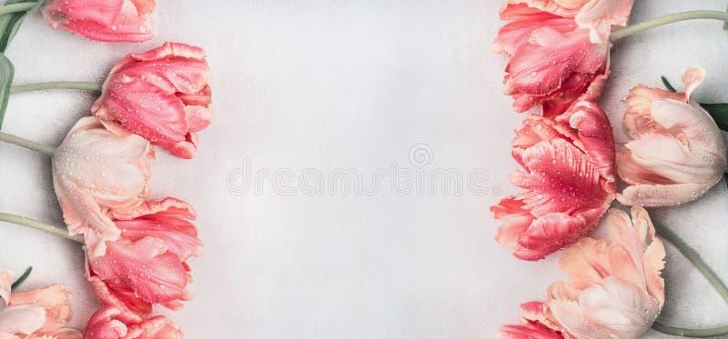 Los tulipanes en colores pastel florecen con descensos del agua, la visión superior, el marco o la bandera Tarjeta de felicitació fotos de archivo