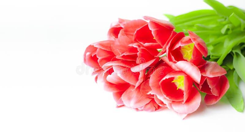 Los tulipanes flor-rojos de la primavera con los tallos verdes mienten en un fondo blanco primer foto de archivo