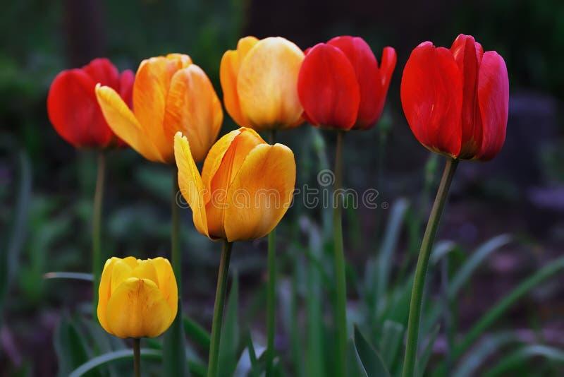 Los tulipanes florecen en el jardín por la tarde imagen de archivo libre de regalías