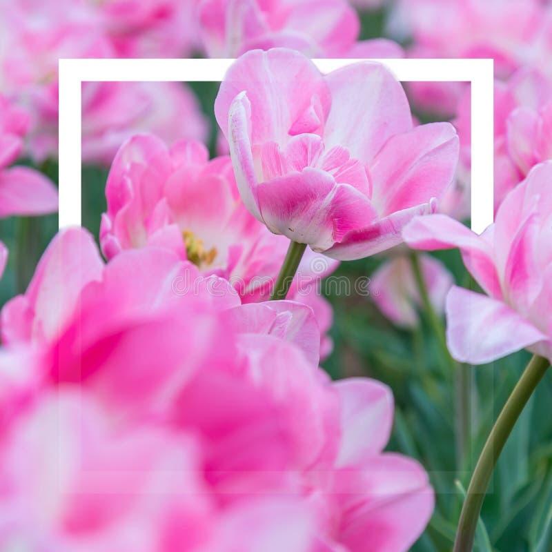 Los tulipanes florecen, fondo ponen completamente, de la flor y de la naturaleza imagen de archivo libre de regalías