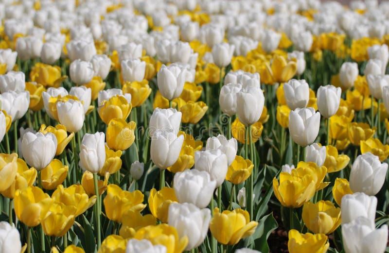 Los tulipanes florecientes hasta el ojo pueden ver fotos de archivo