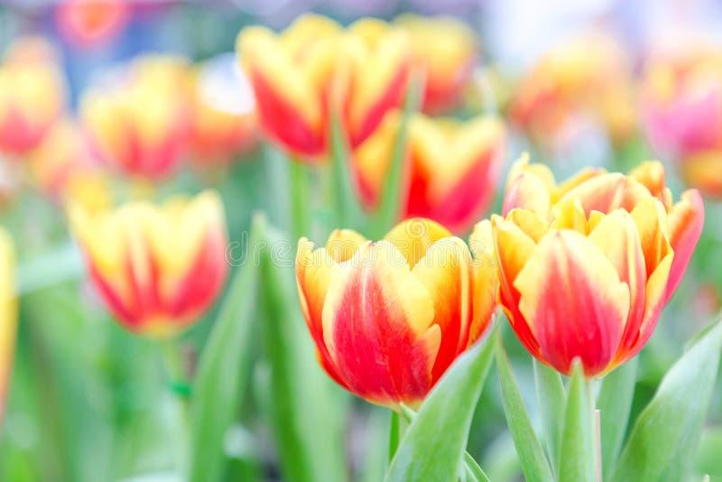 Los Tulipanes Hermosos En Tulipán Colocan Con El Fondo Verde De La ...