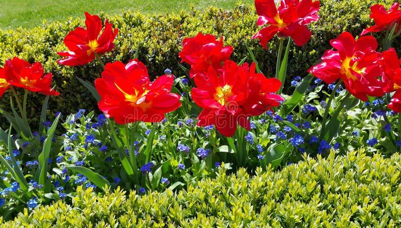 Los tulipanes hermosos y me olvidan no las flores fotos de archivo