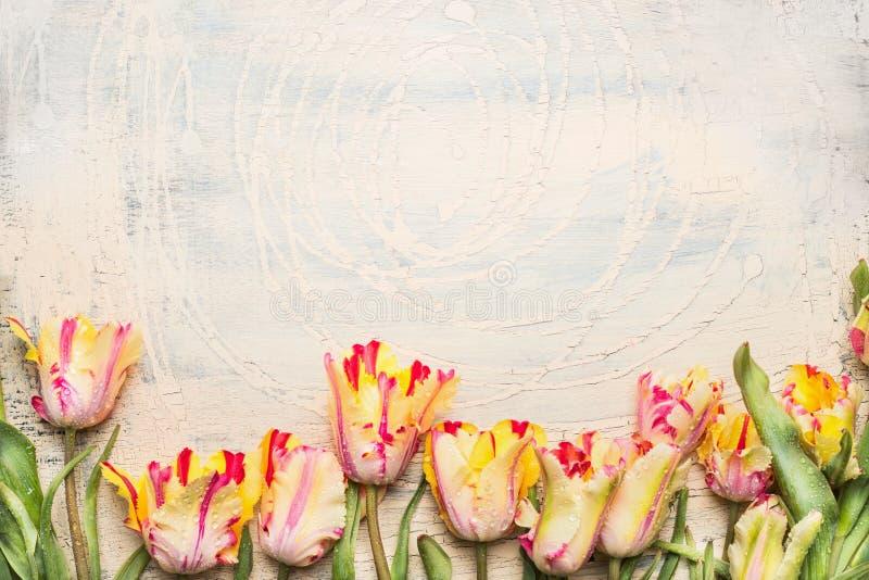 Los tulipanes inusuales del loro con agua caen, frontera floral en fondo de madera ligero foto de archivo