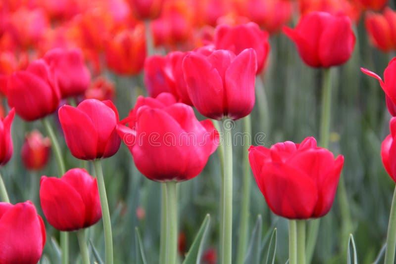 Los tulipanes más grandes del mundo foto de archivo