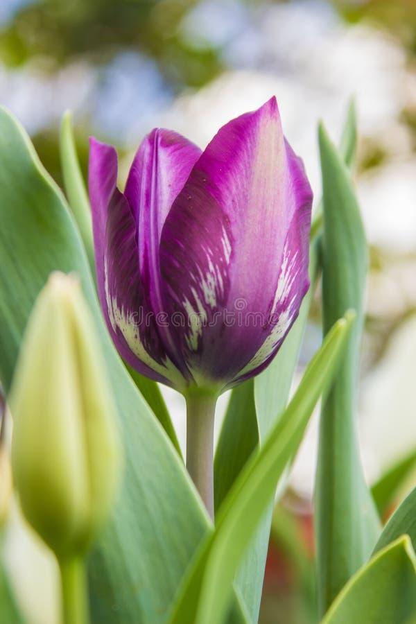 Los tulipanes púrpuras crecen en mi jardín foto de archivo libre de regalías