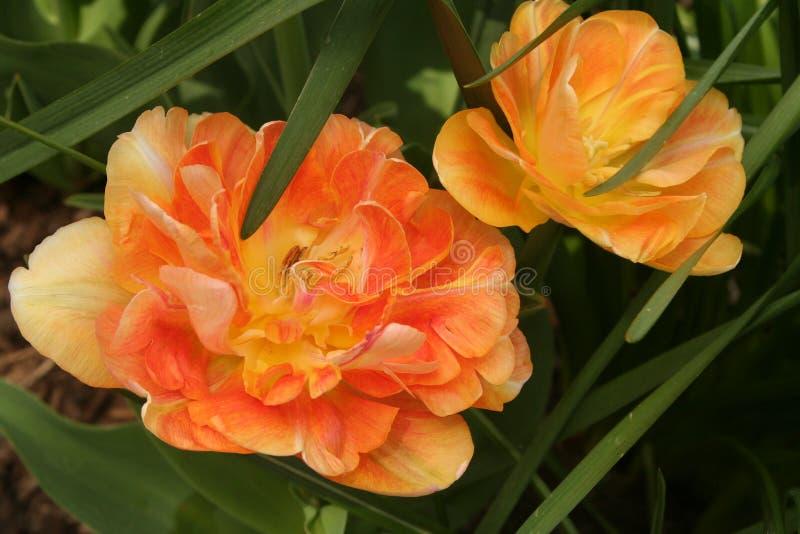 los tulipanes Peonía-florecientes encienden para arriba un jardín temprano de la primavera foto de archivo libre de regalías