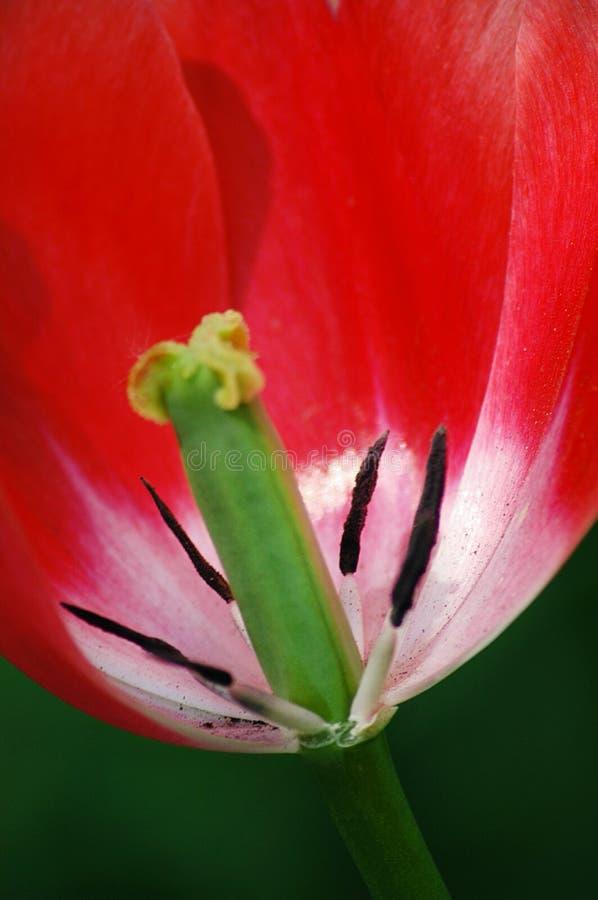 Los tulipanes rojos fotos de archivo