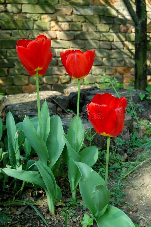Los tulipanes rojos foto de archivo