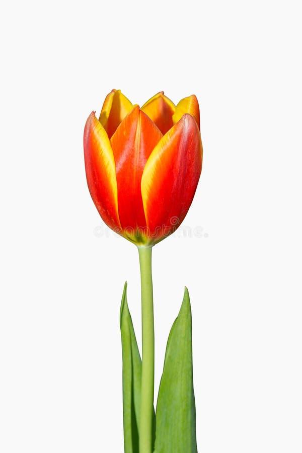 Los tulipanes rojos aislaron en el fondo blanco que estas flores fueron tiradas en Holanda los Países Bajos cerca de Sassenheim e imágenes de archivo libres de regalías