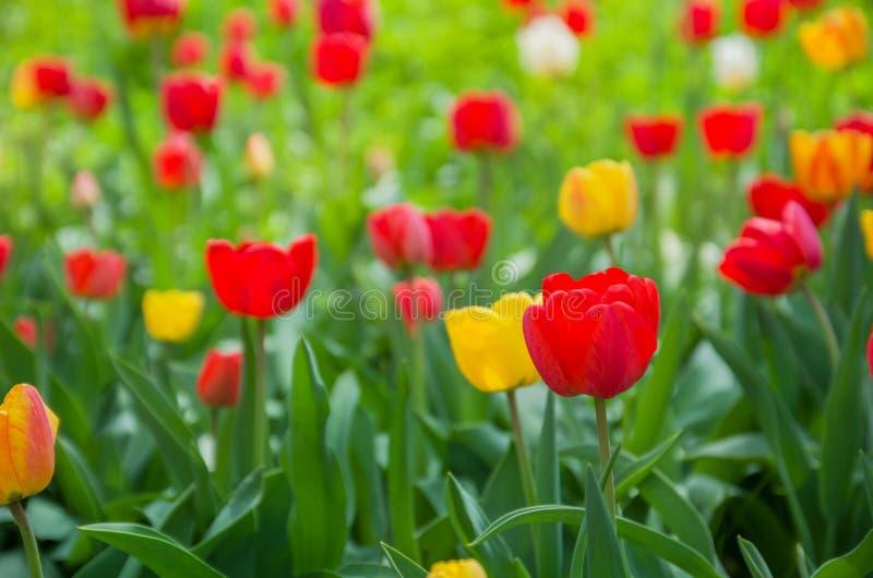Los tulipanes rojos crecen en el campo contra las hojas verdes paisaje borroso del fondo, del verano o de la primavera fotografía de archivo libre de regalías
