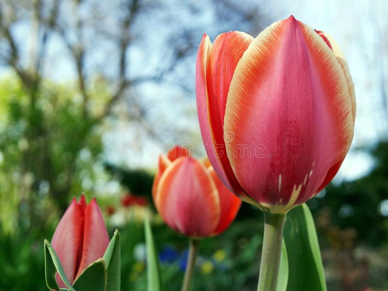 Los tulipanes rojos en un fondo de una primavera parquean imágenes de archivo libres de regalías