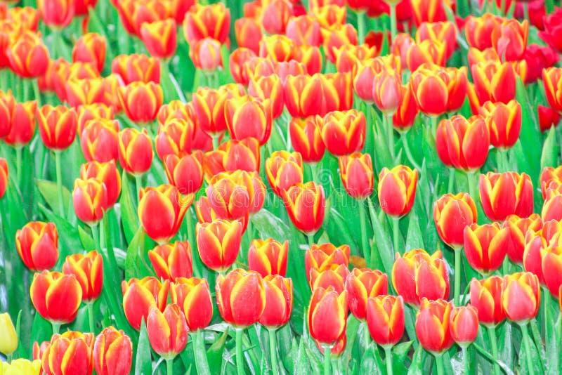 Los tulipanes rojos florecen al grupo que florece con descensos del agua en jardín foto de archivo libre de regalías