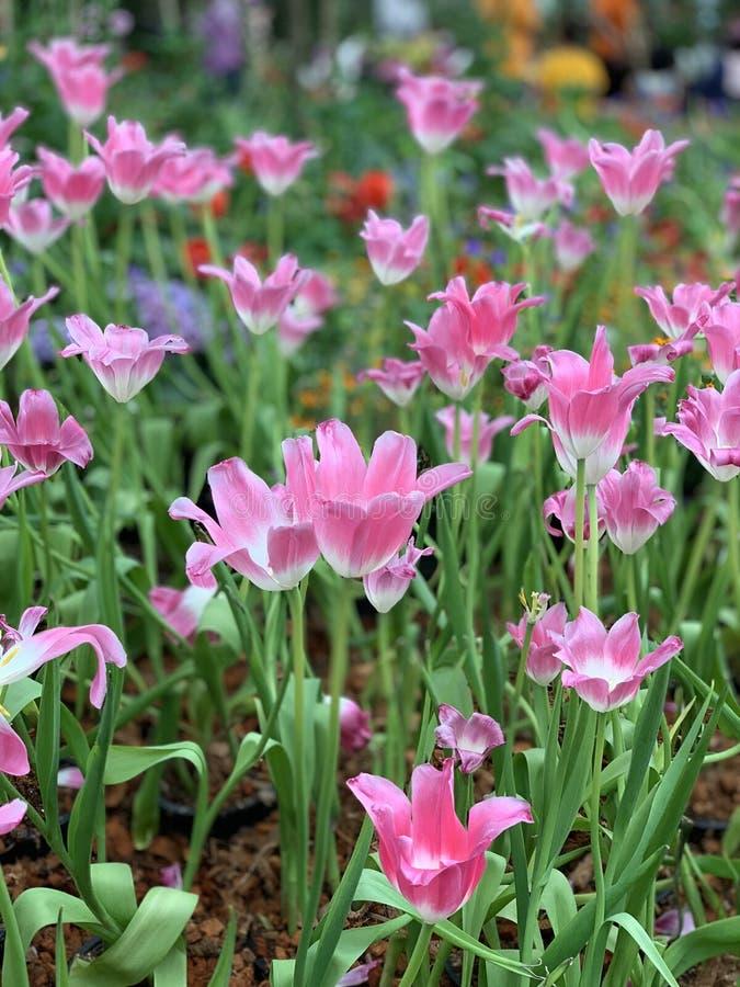 Los tulipanes rosados son primer floreciente en el jardín imágenes de archivo libres de regalías