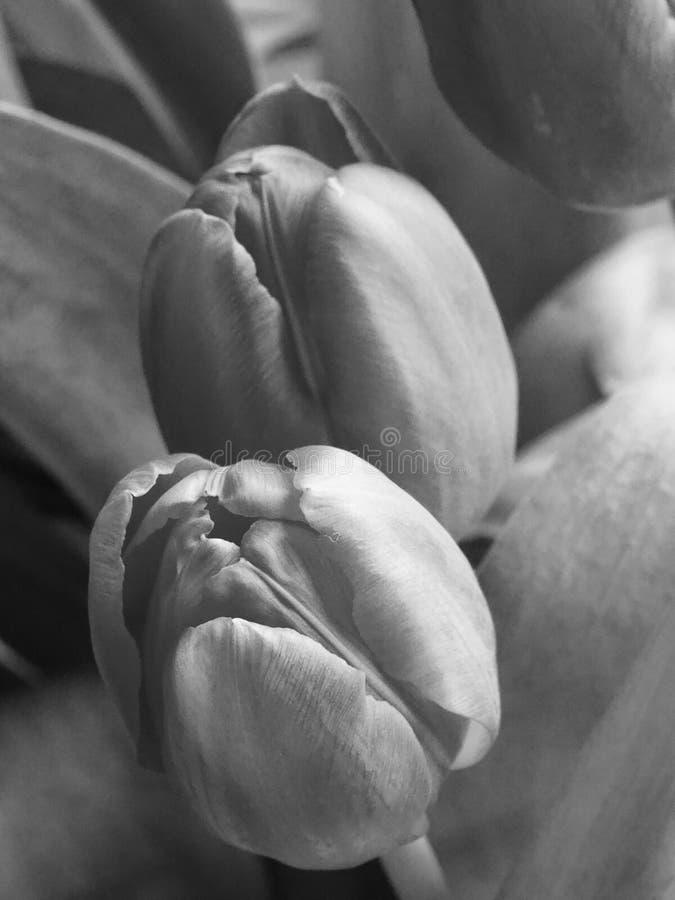 Los tulipanes se cierran para arriba, blanco y negro fotos de archivo libres de regalías