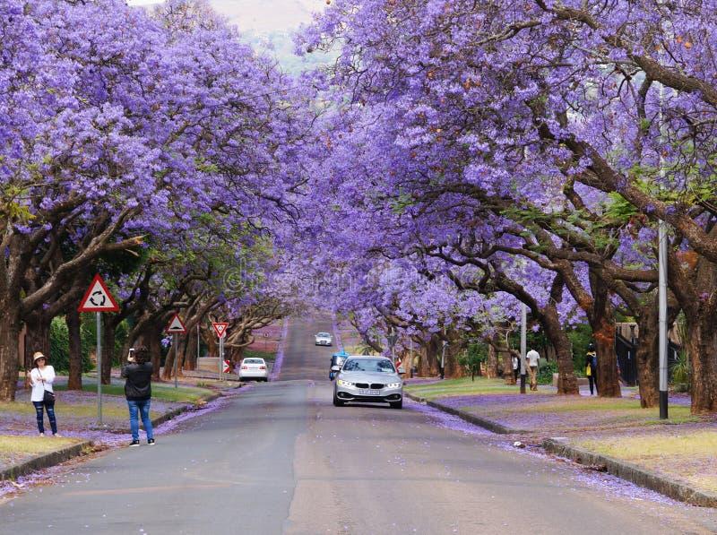 Los turistas que toman la fotografía del Jacaranda hermoso florecen adentro pre fotos de archivo