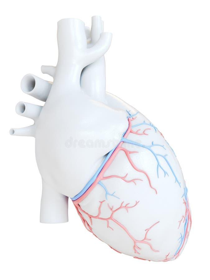 Los vasos sanguíneos coronarios stock de ilustración