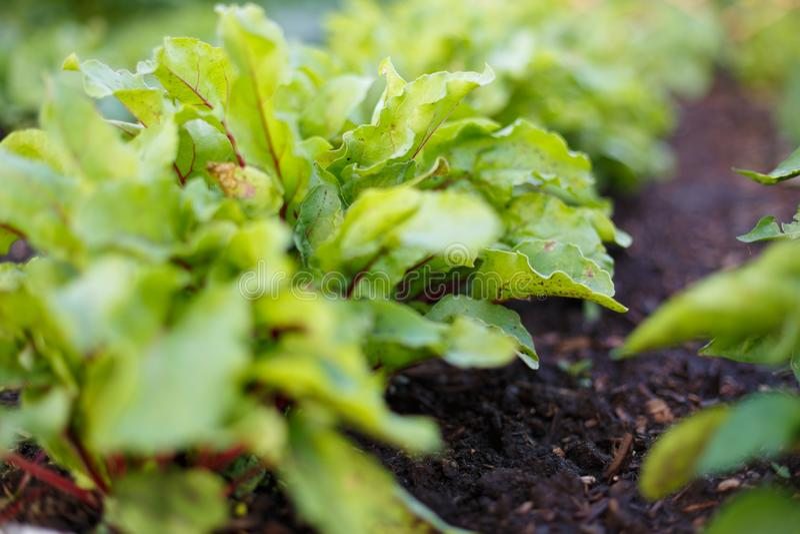 Los verdes de remolacha crecen en la cama vegetal en el huerto imágenes de archivo libres de regalías