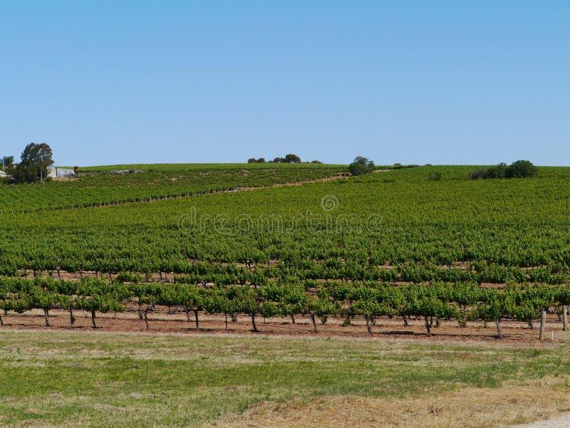 Los viñedos australianos del sur del vino foto de archivo