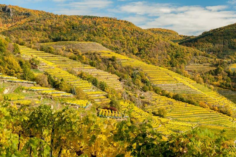 Los viñedos cerca de Weissenkirchen Wachau Austria en otoño colorearon l fotos de archivo