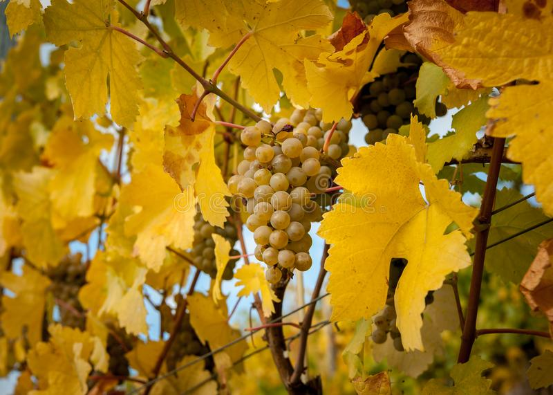 Los viñedos cerca de Weissenkirchen Wachau Austria en otoño colorearon l fotografía de archivo
