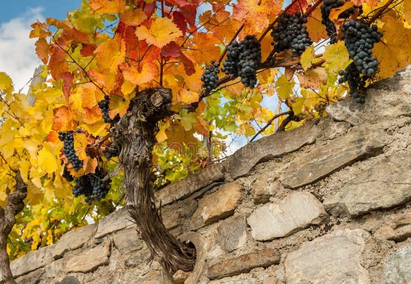 Los viñedos cerca de Weissenkirchen Wachau Austria en otoño colorearon l imagen de archivo