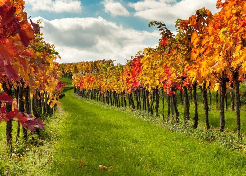 Los viñedos cerca de Weissenkirchen Wachau Austria en otoño colorearon l foto de archivo