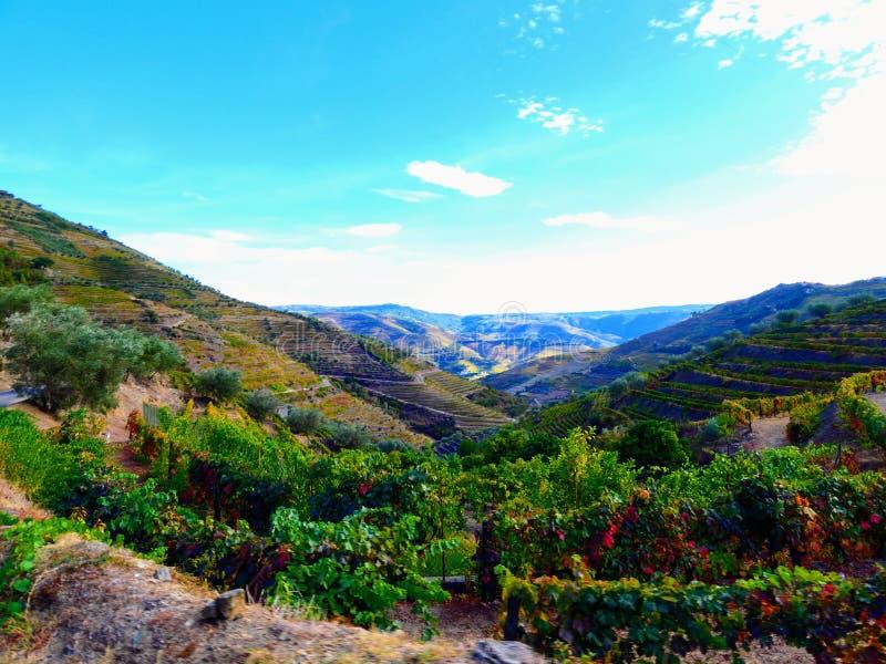 Los viñedos colgantes forman las laderas del ` s el Duero River Valley de Portugal foto de archivo