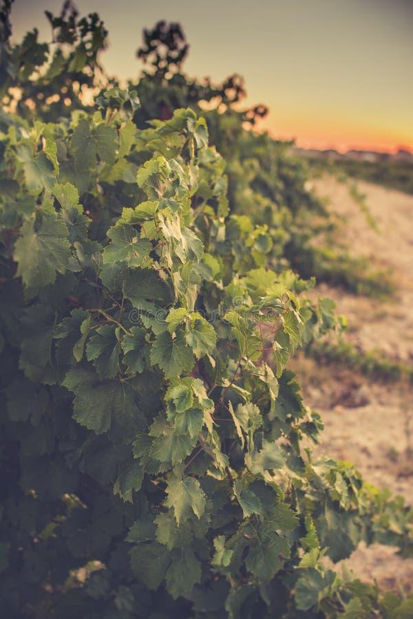 Los viñedos en el distrito de la fecha de Nieva (Segovia, España) a partir del siglo XII Vinos blancos de las uvas más de alta ca imagen de archivo libre de regalías