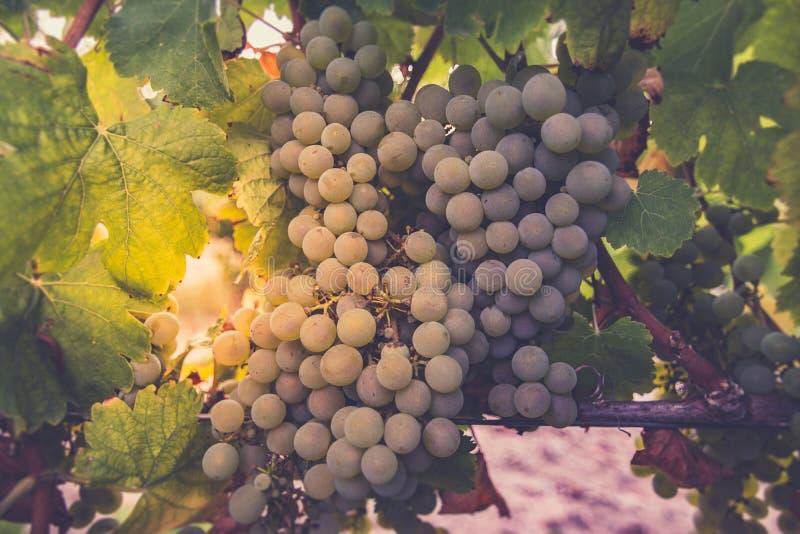 Los viñedos en el distrito de la fecha de Nieva (Segovia, España) a partir del siglo XII Vinos blancos de las uvas más de alta ca imagen de archivo