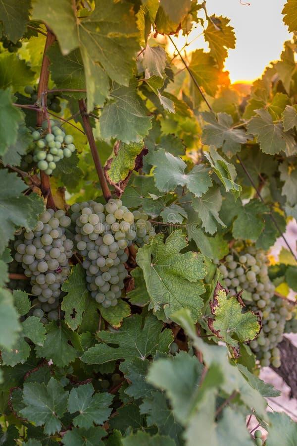 Los viñedos en el distrito de la fecha de Nieva (Segovia, España) a partir del siglo XII Vinos blancos de las uvas más de alta ca foto de archivo libre de regalías