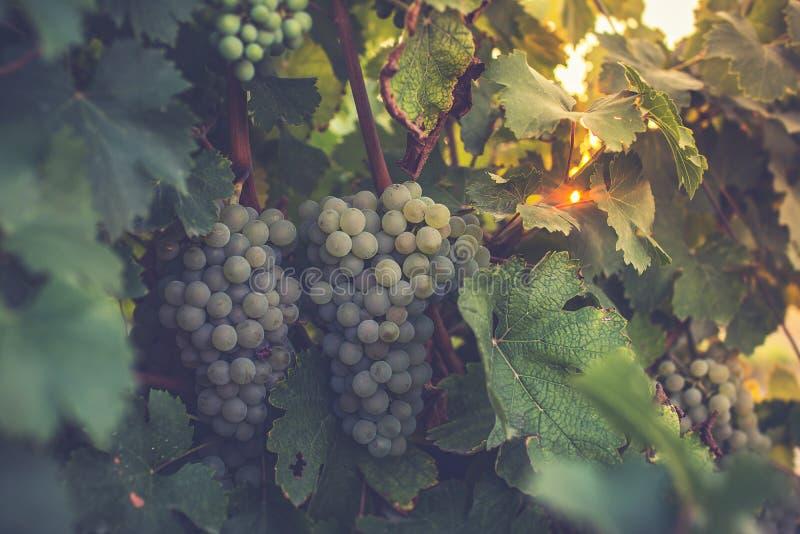 Los viñedos en el distrito de la fecha de Nieva (Segovia, España) a partir del siglo XII Vinos blancos de las uvas más de alta ca fotos de archivo libres de regalías