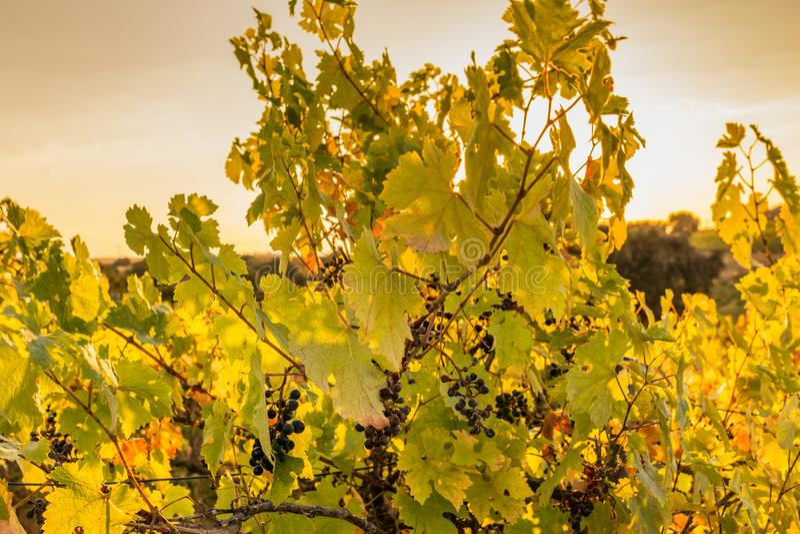 Los viñedos en el distrito de Nieva fecha de Segovia, España a partir del siglo XII Vinos blancos de las uvas más de alta calidad foto de archivo libre de regalías