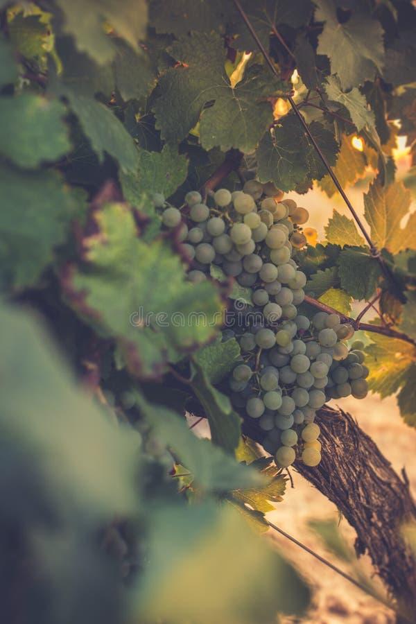 Los viñedos en el distrito de Nieva (Segovia, España) datan del siglo XII Vinos blancos de las uvas del más de alta calidad foto de archivo libre de regalías