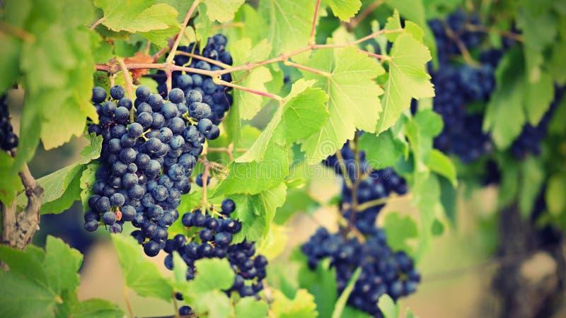 Los viñedos en la puesta del sol en otoño cosechan las uvas maduras Región del vino, Moravia meridional - República Checa Viñedo  fotos de archivo
