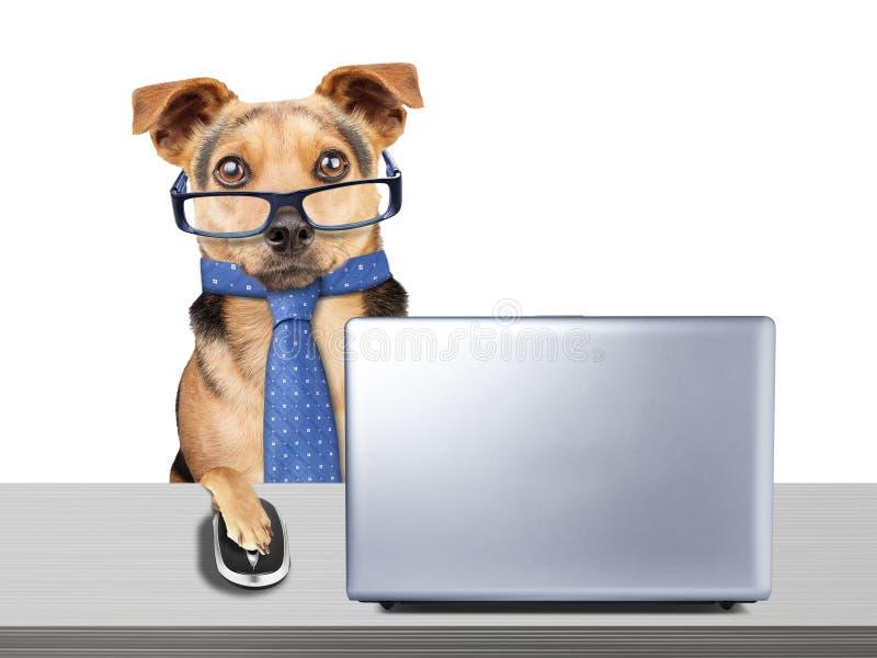 Los vidrios divertidos del perro atan el escritorio de trabajo del ordenador portátil del ordenador aislado imágenes de archivo libres de regalías