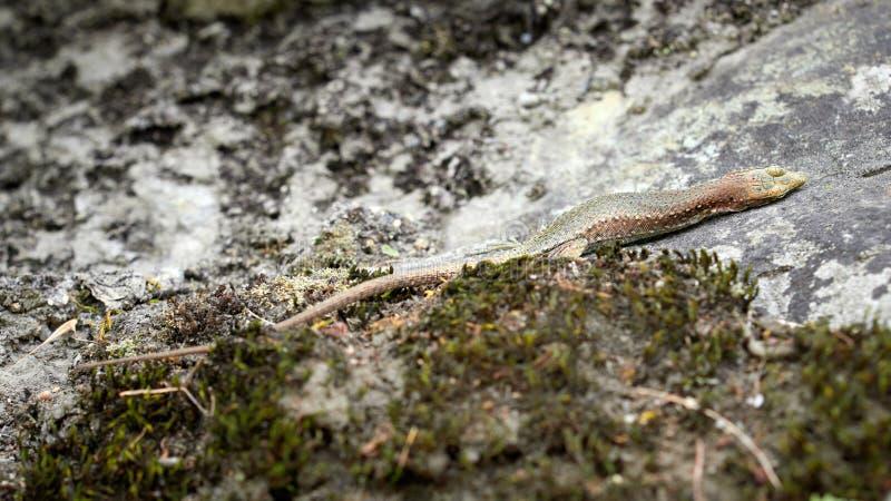 Los viridis de un lacerta del lagarto con una pata quebrada se están sentando en una piedra foto de archivo