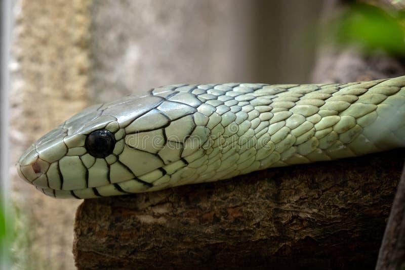 Los viridis del Dendroaspis de la mamba verde fotografía de archivo libre de regalías