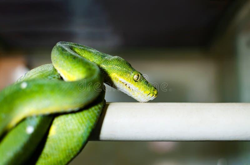 Los viridis verdes de Morelia del pitón del árbol fotografía de archivo libre de regalías