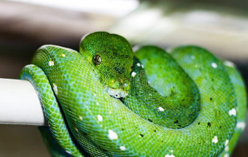 Los viridis verdes de Morelia del pitón del árbol imagen de archivo