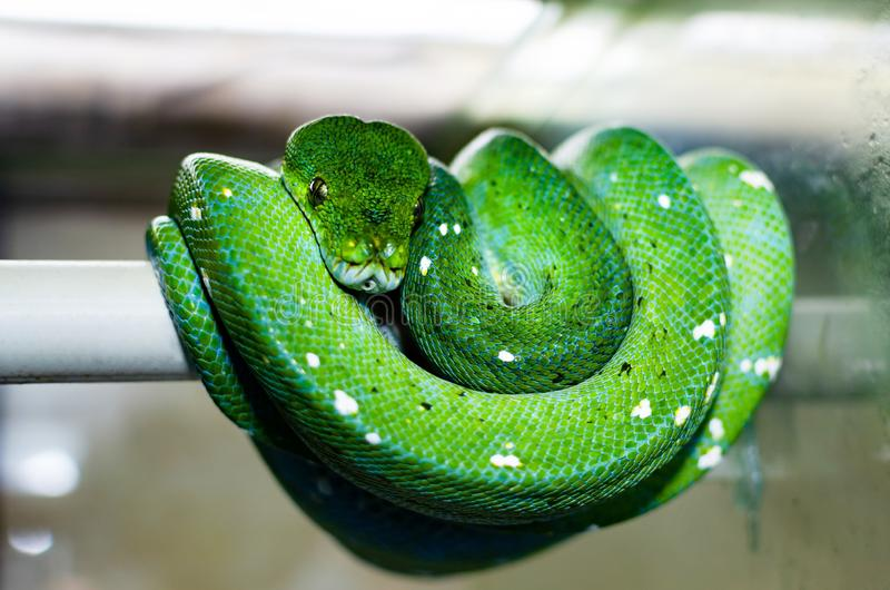 Los viridis verdes de Morelia del pitón del árbol fotos de archivo