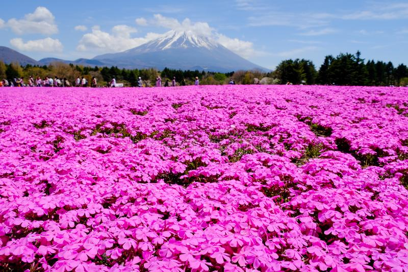 Los visitantes gozan del jardín de flores en el festival de Fuji Shibazakura, Yamanashi, Japón fotos de archivo libres de regalías